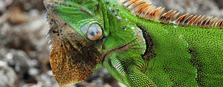 Legwan zielony, fot. Shutterstock